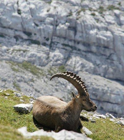 Alpensteinbock (Capra ibex) - Naturpark Ötztal
