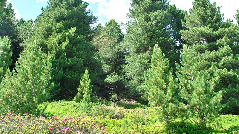 Zirbe (Pinus zembra) - Naturpark Ötztal