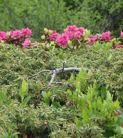 Rostrote Alpenrose (Rhododendron ferrugineum) - NATURPARK ÖTZTAL