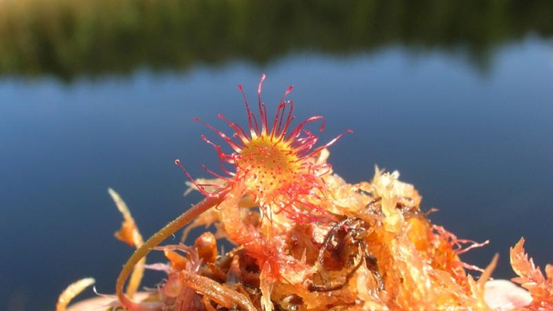 Fleisch fressende Sonnentau (Drosera sp.) - Naturpark Ötztal
