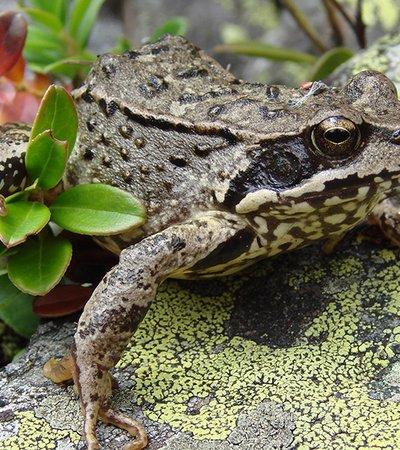Der Grasfrosch (Rana temporaria) - Naturpark Ötztal
