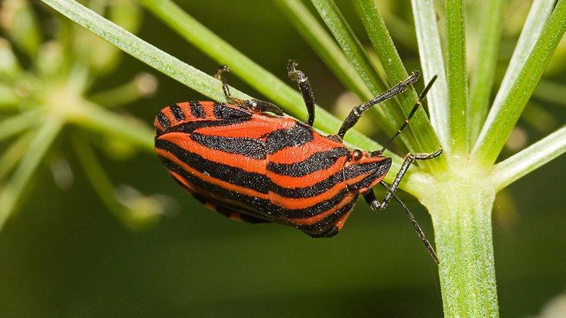 Streifenwanzen (Graphosoma Lineatum) - Naturpark Ötztal