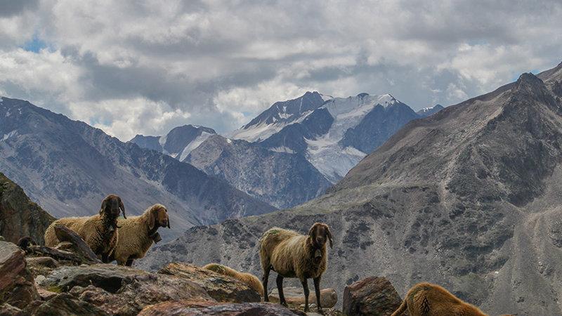 Schafe Rofenkarferner ©Naturpark Ötztal