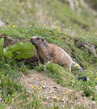 Alpenmurmeltier (Marmota marmota) - Naturpark Ötztal