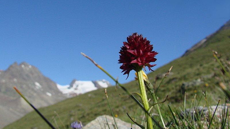 Schwarzes Kohlröschen (Nigritella nigra) - Naturpark Ötztal