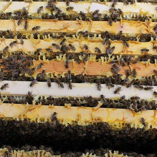 Bienen ©Archiv NMS Längenfeld