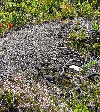 Kerbameise (Formica suecica, Formica foreli) - Naturpark Ötztal