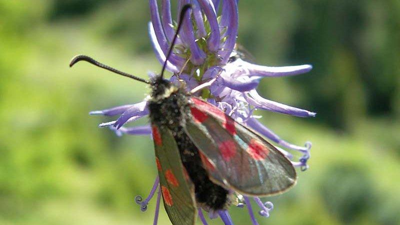 Schmetterling - Ruhegebiet Stubaier Alpen