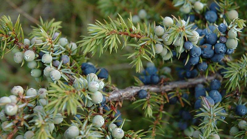 Zwergwacholder (Juniperus sibirica) - Naturpark Ötztal