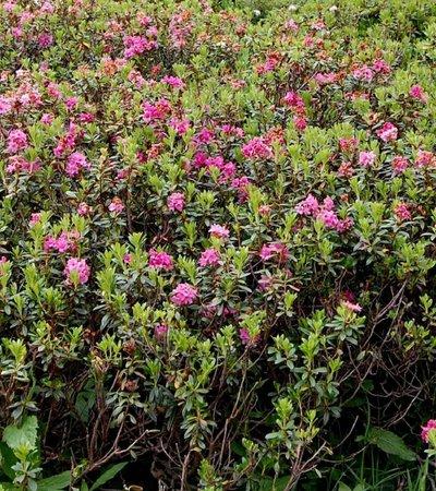 Rostrote Alpenrose (Rhododendron ferrugineum) © Roland Mayer - NATURPARK ÖTZTAL