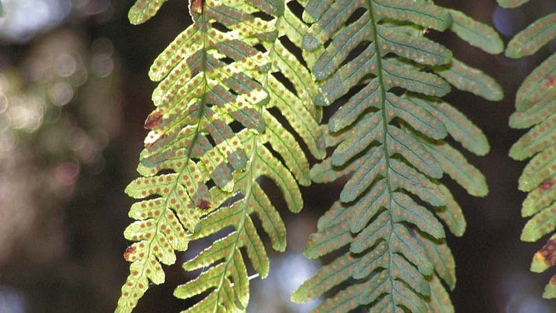 Engelsüss Farnpflanze (Polypodium vulgare) - Naturpark Ötztal