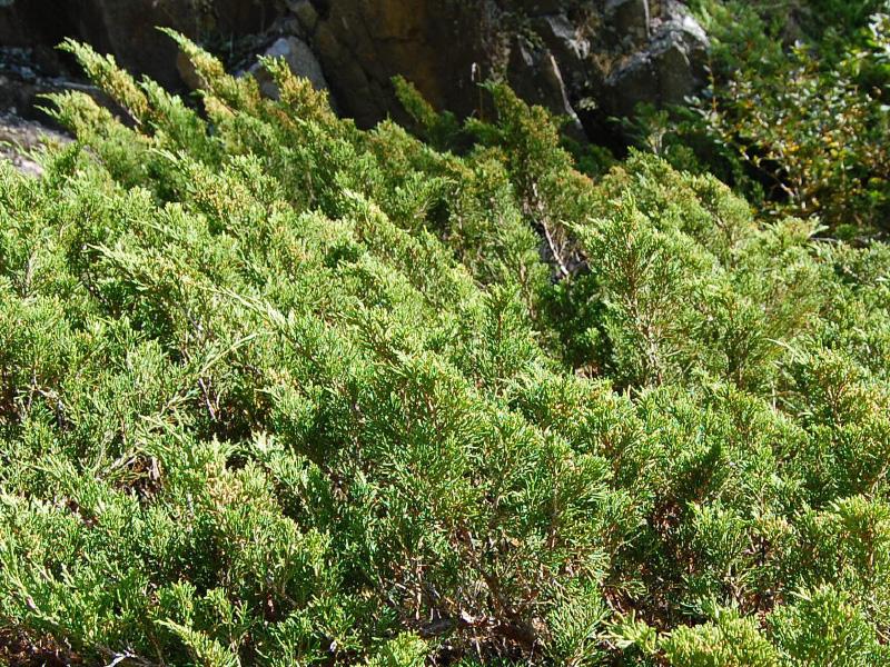 Sadebaum (Juniperus sabina) ©Roland Mayer - Naturpark Ötztal