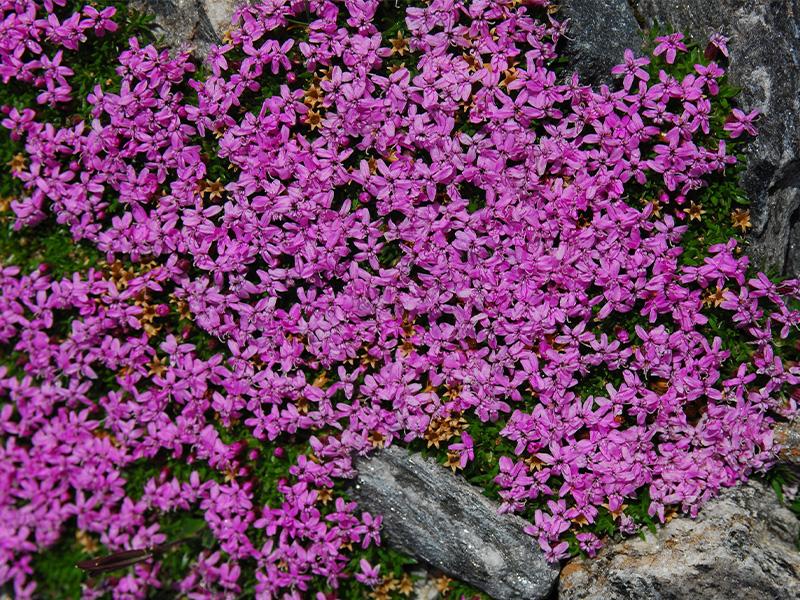 Stängelloses Leimkraut (Silene acaulis) ©Roland Mayer - Naturpark Ötztal