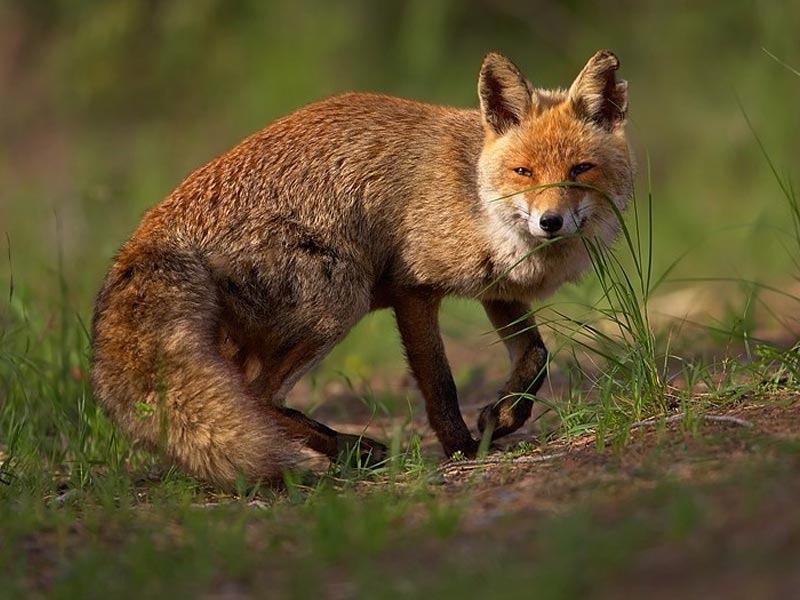 Rotfuchs (Vulpes vulpes) ©Martin Mecnarowski
