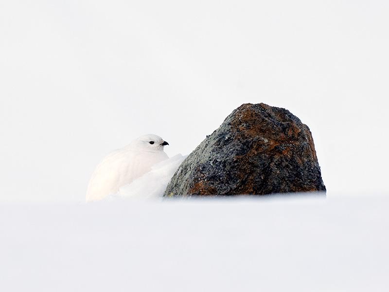 Alpenschneehuhn (Lagopus muta) ©Reinhard Hölzl - Naturpark Ötztal